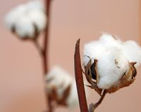 White tuft of white cotton ball in the plant of cotton plantation. White tuft of cotton ball directly in the plant of cotton plantation royalty free stock photo