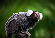 White tufted ear Marmoset Royalty Free Stock Photos