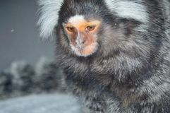 White Tufted Ear Marmoset. Close up of face. Callithrix jacchus Royalty Free Stock Photo