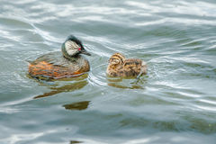 White-Tufted Grebe Stock Images