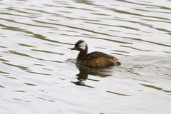 White-tufted Grebe floating on the lake 1 Royalty Free Stock Photo