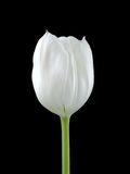A White Tuilip On Black. A Single White Tulip Isolated On a Black Background Royalty Free Stock Images