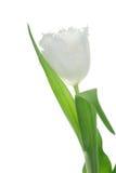 White tulip. Royalty Free Stock Photo