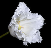 White tulip Royalty Free Stock Photo