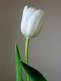 White Tulip. Simple white tulip against a neutral background Royalty Free Stock Photography