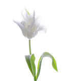 White tulip Royalty Free Stock Images