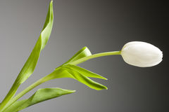 White tulip. A white closed tulip stock photography