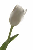 White tulip. Single white tulip isolated on white Royalty Free Stock Photography