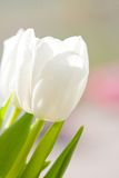 White tulip. Close up with blue sky background Stock Image