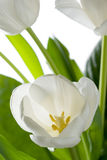 White tulip. Royalty Free Stock Images
