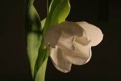 White Tulip. Spring White Tulip in black background Royalty Free Stock Photos