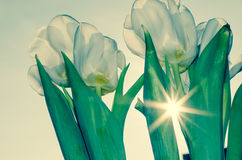 White tulip Royalty Free Stock Photos