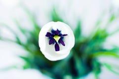 White Tulip. Beautiful tulip  on white Royalty Free Stock Photos