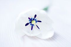 White Tulip. Beautiful tulip  on white Stock Images