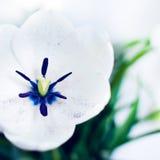 White Tulip. Beautiful tulip  on white Stock Photos