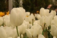 White Tulip. Beautiful white Tulip in the garden Royalty Free Stock Photography