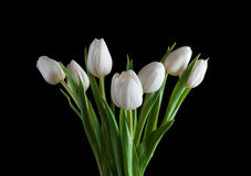 White tulip on black background.  Royalty Free Stock Photography