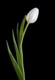 White tulip on black background.  Stock Photos