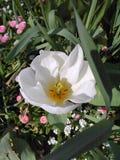 White tulip Royalty Free Stock Image