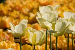 White Tulip Blooms Royalty Free Stock Images