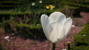 A white tulip blossom stock video footage