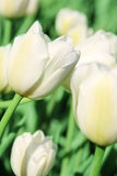 White tulip blossom Royalty Free Stock Photo