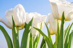 White tulip Stock Images