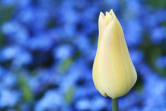 White tulip on blue background Stock Photo