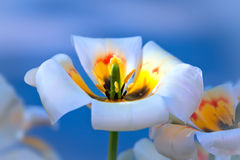White tulip on blue Stock Photography