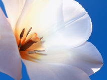 White tulip and blue sky Royalty Free Stock Images
