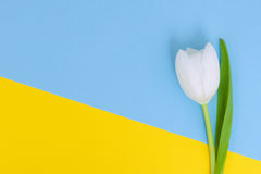 White tulip on blue and yellow background Stock Photography