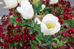 White tulip and burgandy pansy flowers Royalty Free Stock Photo