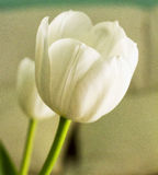 White tulip in close up Royalty Free Stock Photos