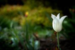 White tulip flower in a beautiful spring garden. White tulip flower in a beautiful spring garden Stock Image