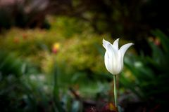 White tulip flower in a beautiful spring garden. White tulip flower in a beautiful spring garden Stock Photo