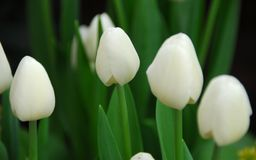 white tulip flower Stock Photo