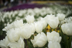White Tulip flower blossom Royalty Free Stock Photo