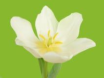 White tulip flower Stock Image