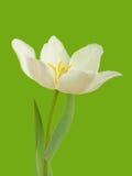 White tulip flower Stock Photography