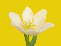 White tulip flower Royalty Free Stock Photos