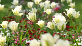 White tulip flower stock footage