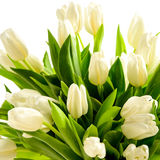 White tulip flowers Royalty Free Stock Images