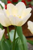 White Tulip flowers Stock Image