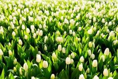 White tulip flowers Stock Photos