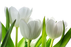 White tulip flowers isolated on white Royalty Free Stock Photos