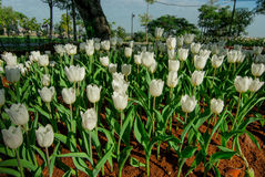 White Tulip flowers in the morning. White Tulip flowers in the morning`s public gardens. Petals condensation Stock Photo