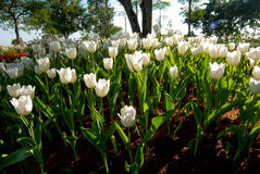 White Tulip flowers in the morning. White Tulip flowers in the morning`s public gardens. Petals condensation Royalty Free Stock Photos