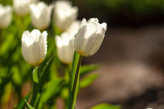 White Tulip flowers in the morning. White Tulip flowers in the morning`s public gardens. Petals condensation Royalty Free Stock Photo