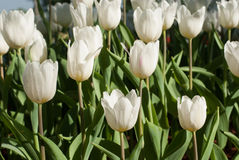White Tulip flowers in the morning. White Tulip flowers in the morning`s public gardens. Petals condensation Stock Photos