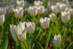 White Tulip flowers in the morning. White Tulip flowers in the morning`s public gardens. Petals condensation Royalty Free Stock Image